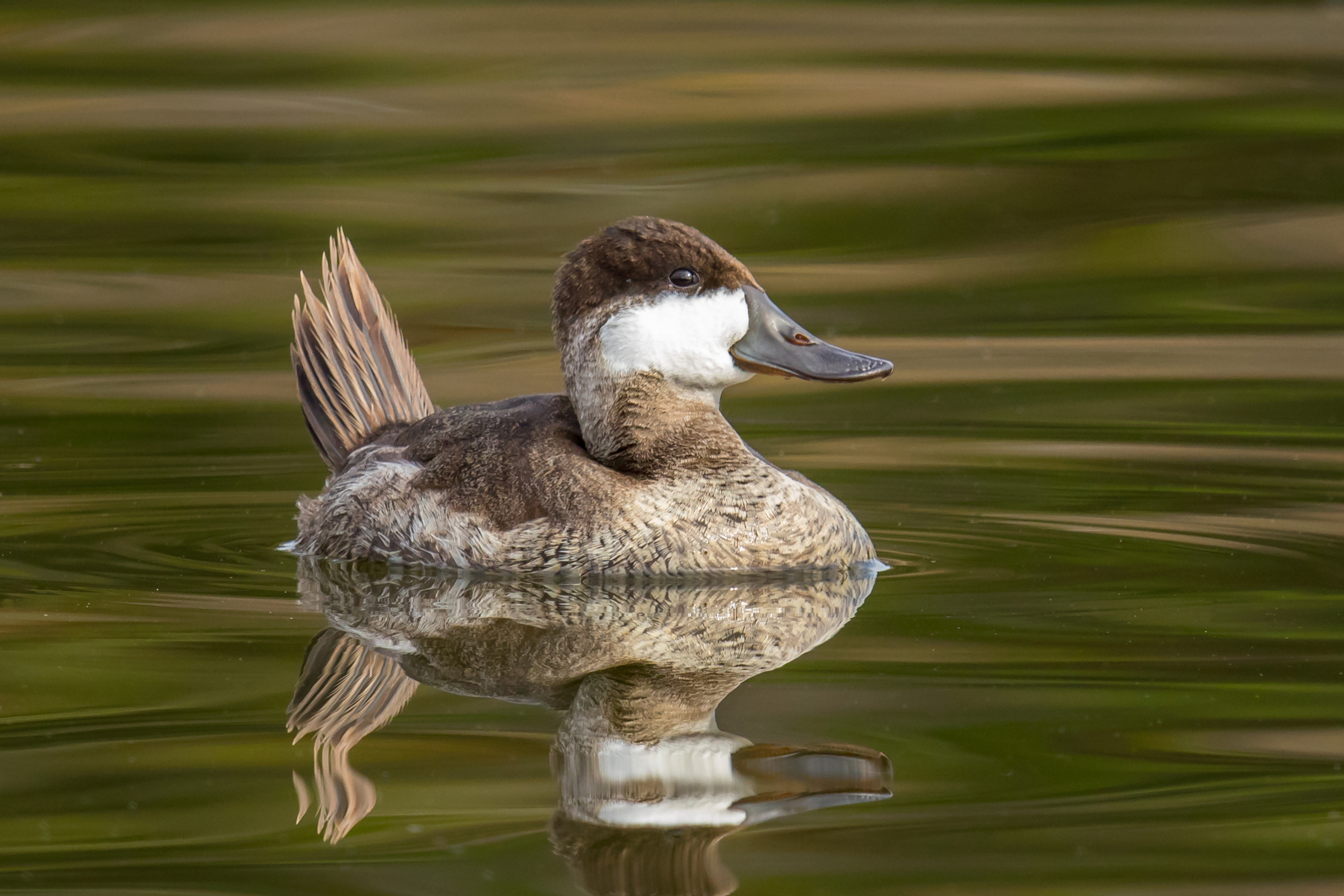 PC: Mick Thompson (Ruddy Duck)