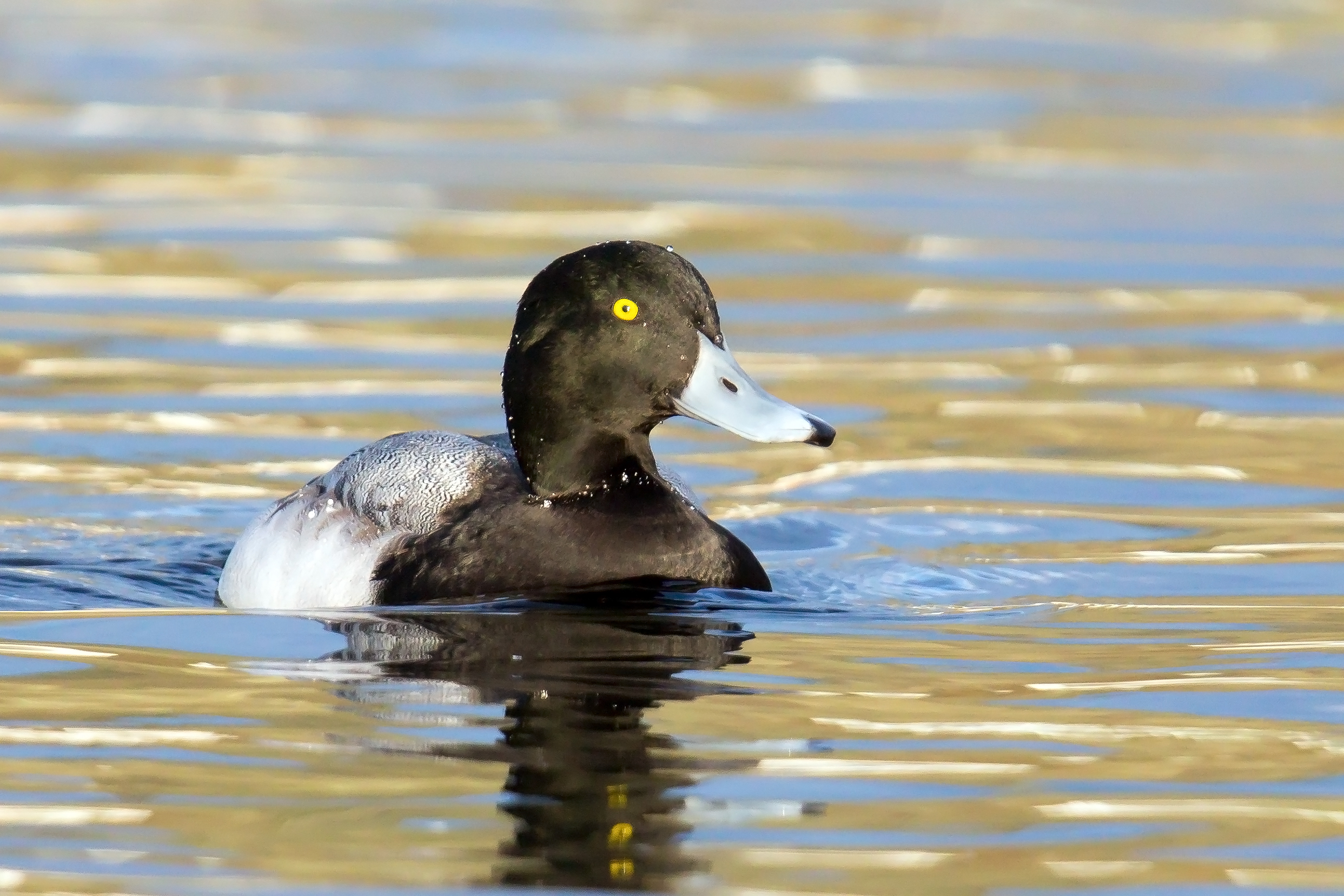 PC: Mick Thompson (Greater Scaup)