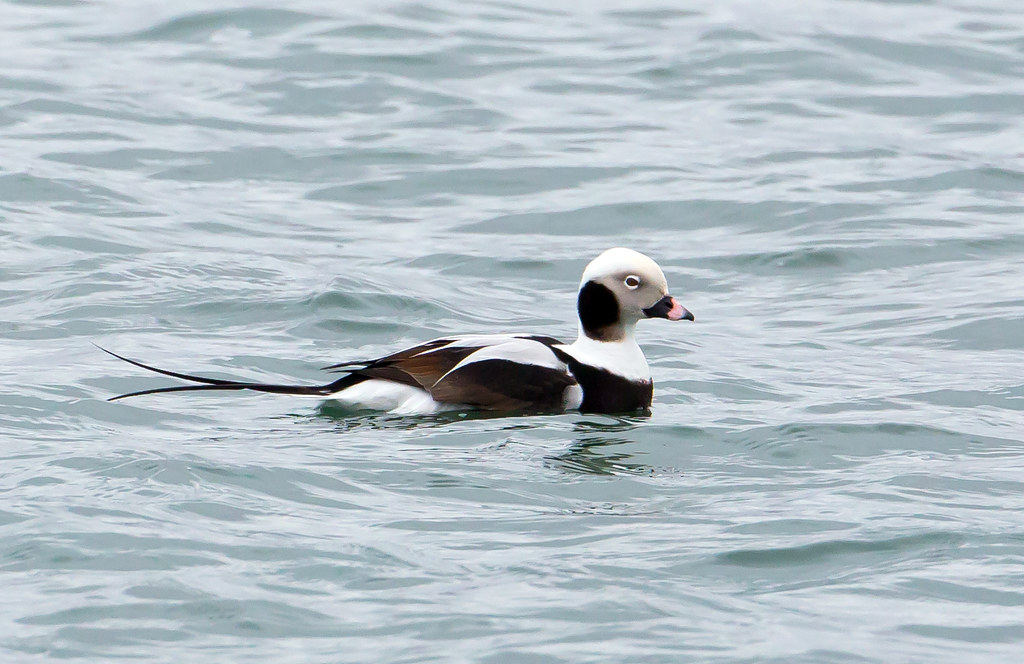 PC: Mick Thompson (Long-tailed Duck)