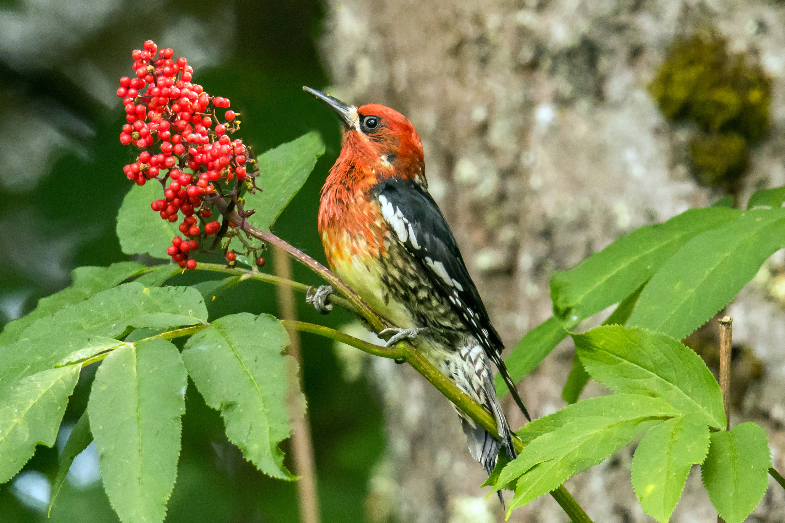 PC: Mick Thompson (Red-breasted Sapsucker)