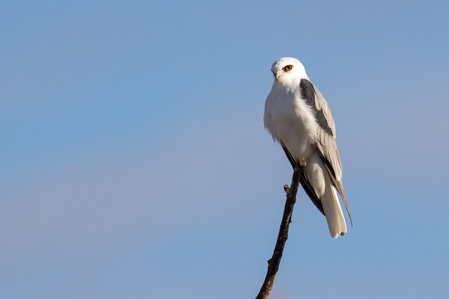 PC: Mick Thompson (White-tailed Kite)