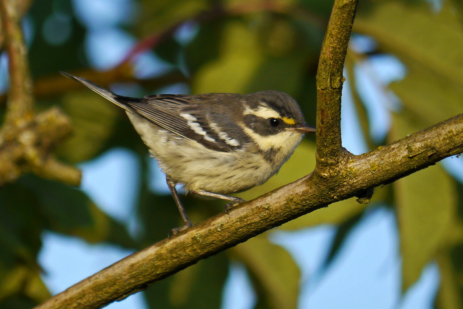 PC: Ollie Oliver (Black-throated Gray Warbler)