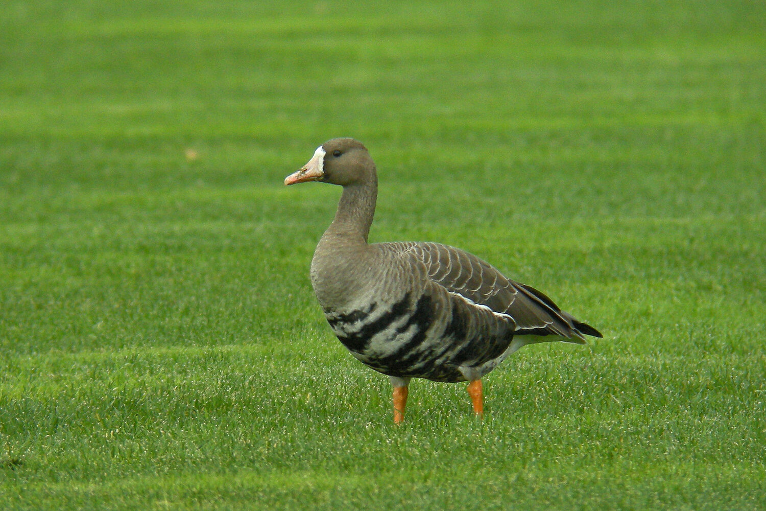 PC: Ollie Oliver (Greater White-fronted Goose)