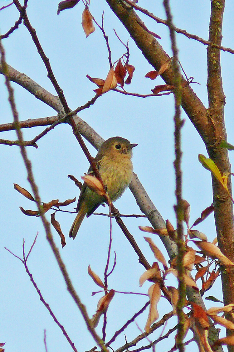 PC: Ollie Oliver (Hutton's Vireo)