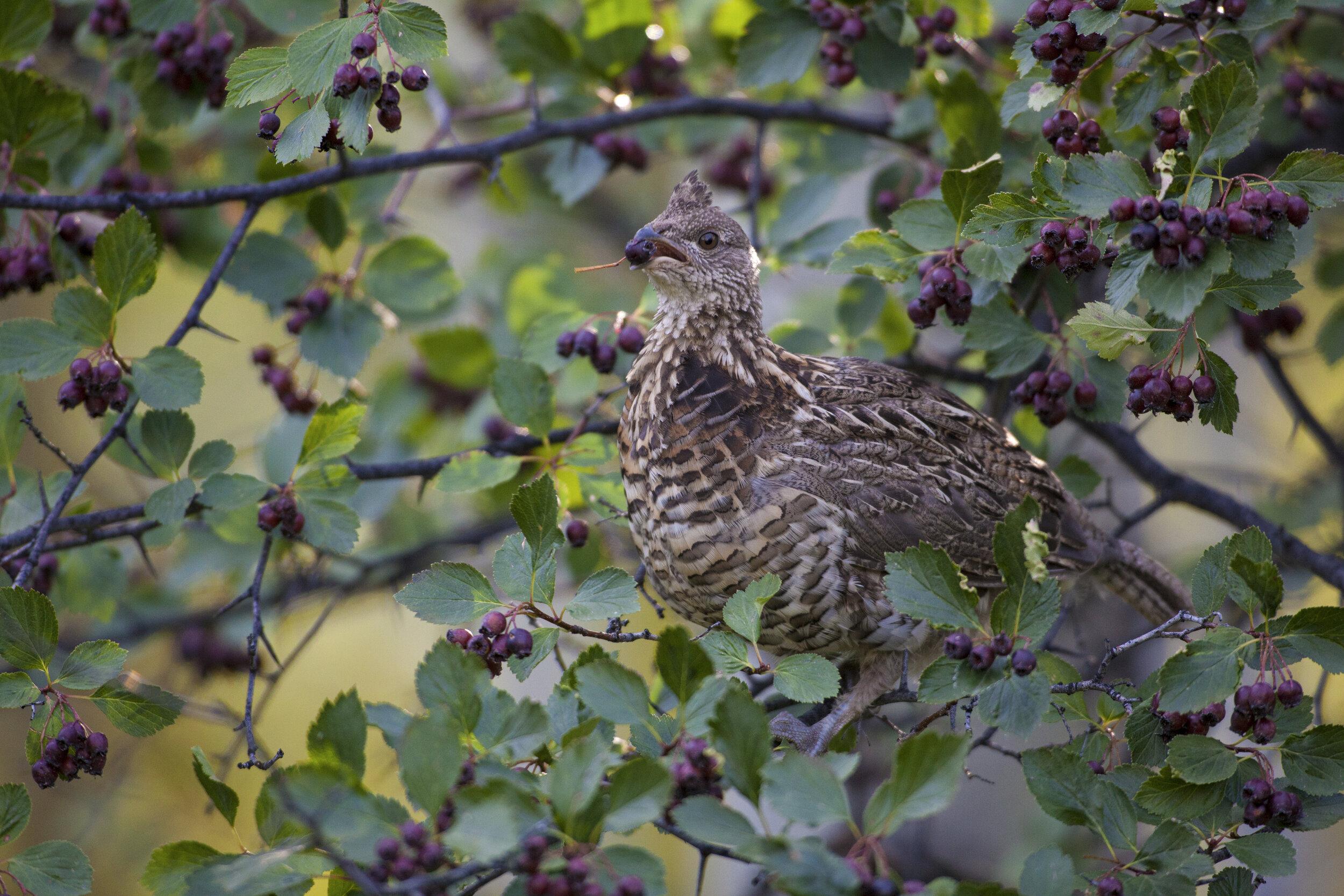 PC: Matt Stirn/Audubon Photography Awards (Ruffed Grouse)