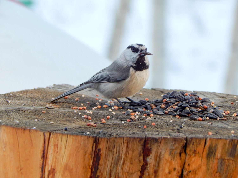 PC: Justin Barton / Great Backyard Bird Count (Mountain Chickadee)