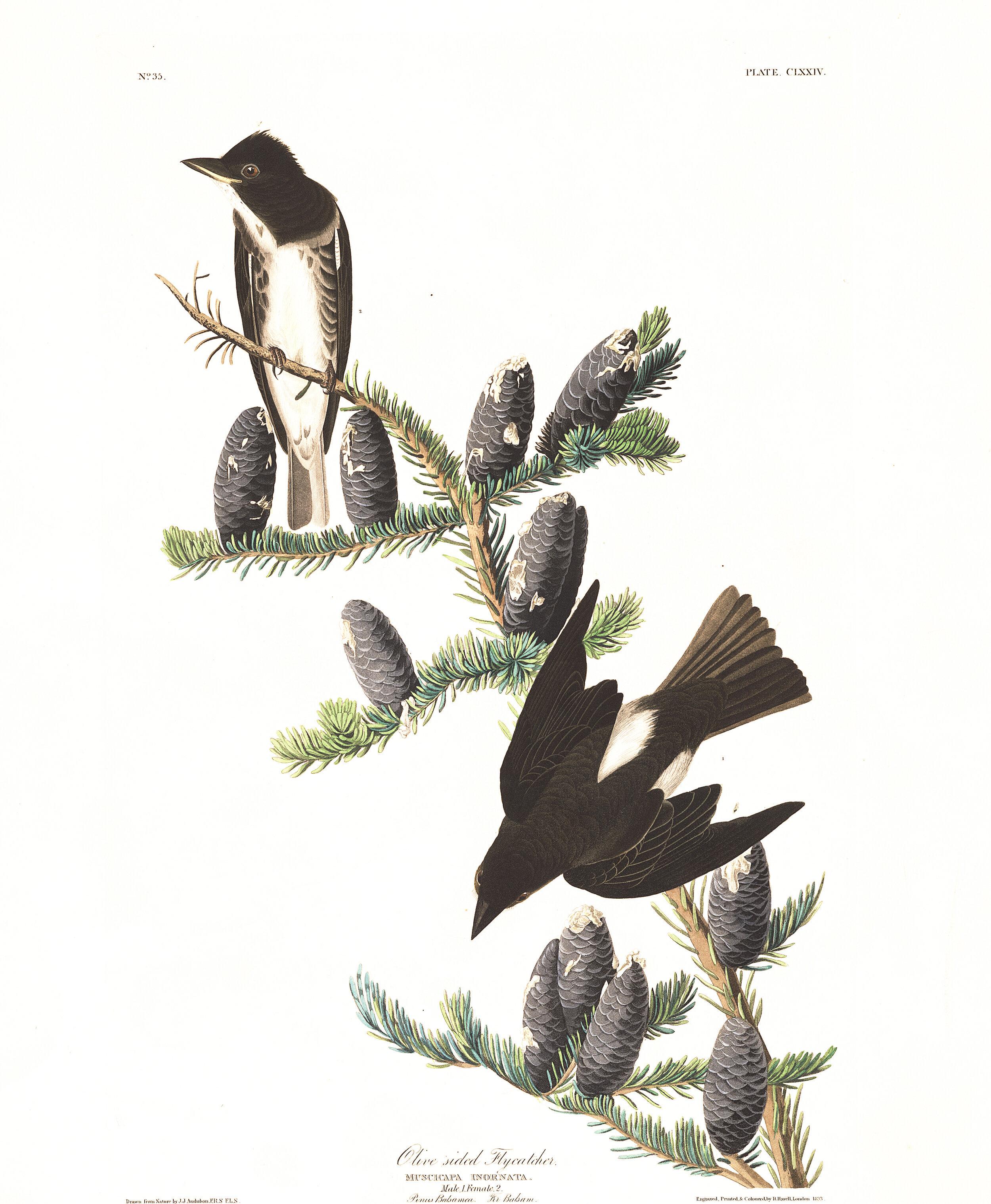 PC: John James Audubon (Olive-sided Flycatcher)