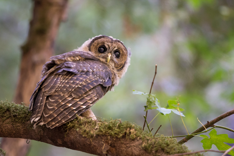 PC: Sylvia Hunt/Audubon Photography Awards (Spotted Owl)