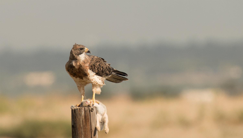 PC: Vaughn Cottman/Audubon Photography Awards (Swainison's Hawk)