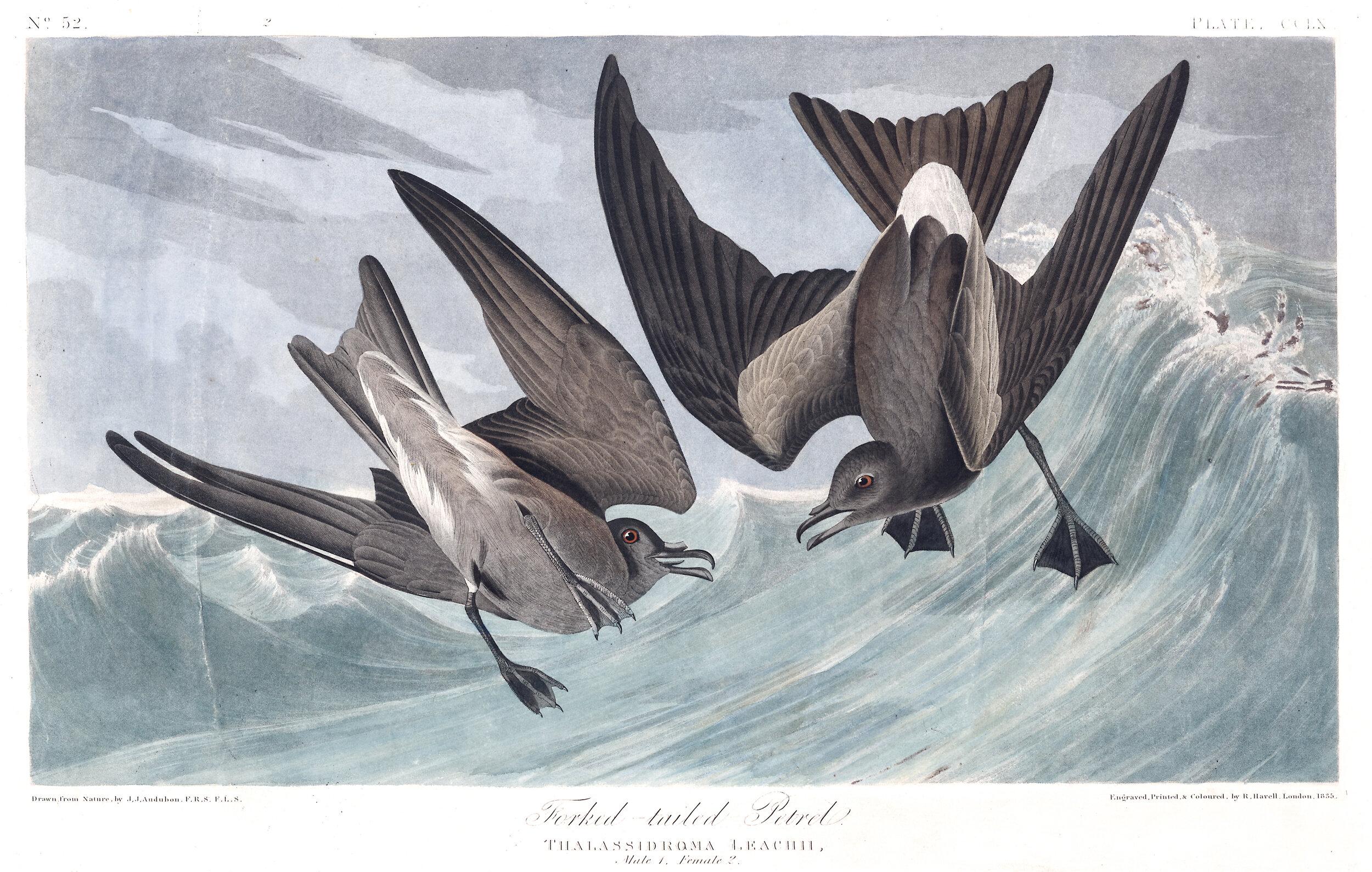 PC: John James Audubon (Fork-tailed Storm Petrel)