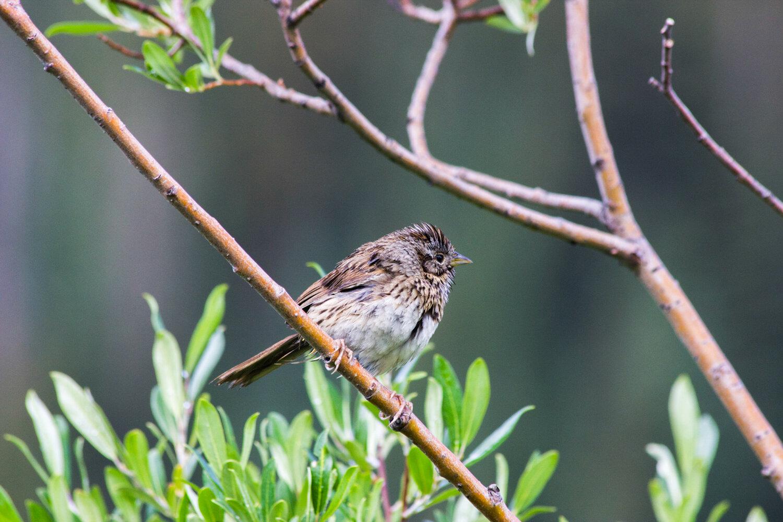 PC: Seth Kapp / Audubon Photography Awards (Lincoln's Sparrow)
