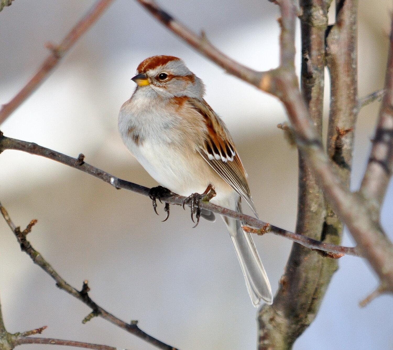 PC: Bette Parette / Great Backyard Bird Count (American Tree Sparrow)