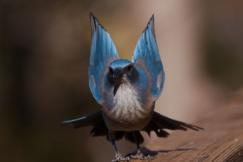 PC: Gil Eckrich/Audubon Photography Awards (California Scrub Jay)