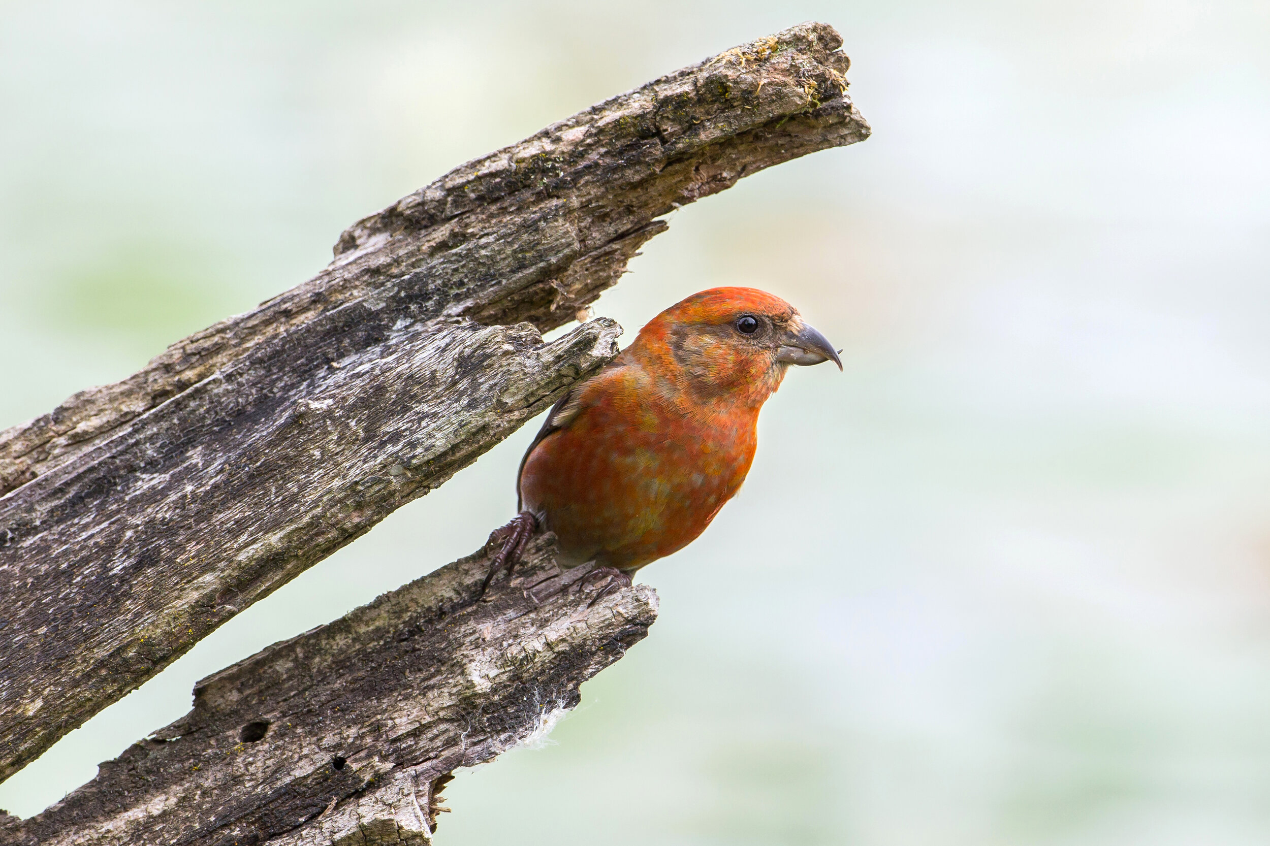 Red Crossbill at Lake Sammamish State Park by Mick Thompson