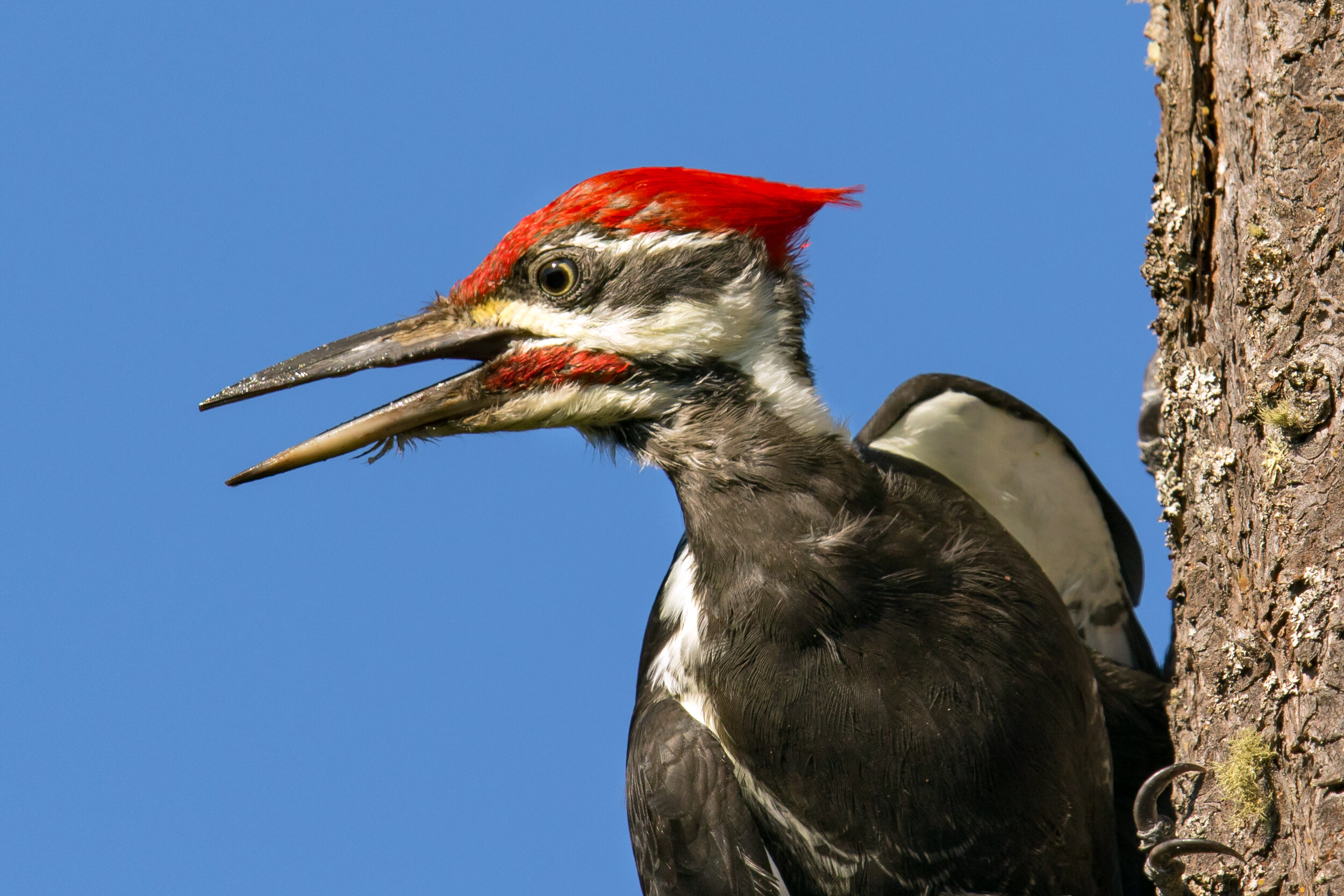 Pileated Woodpecker by Mick Thompson