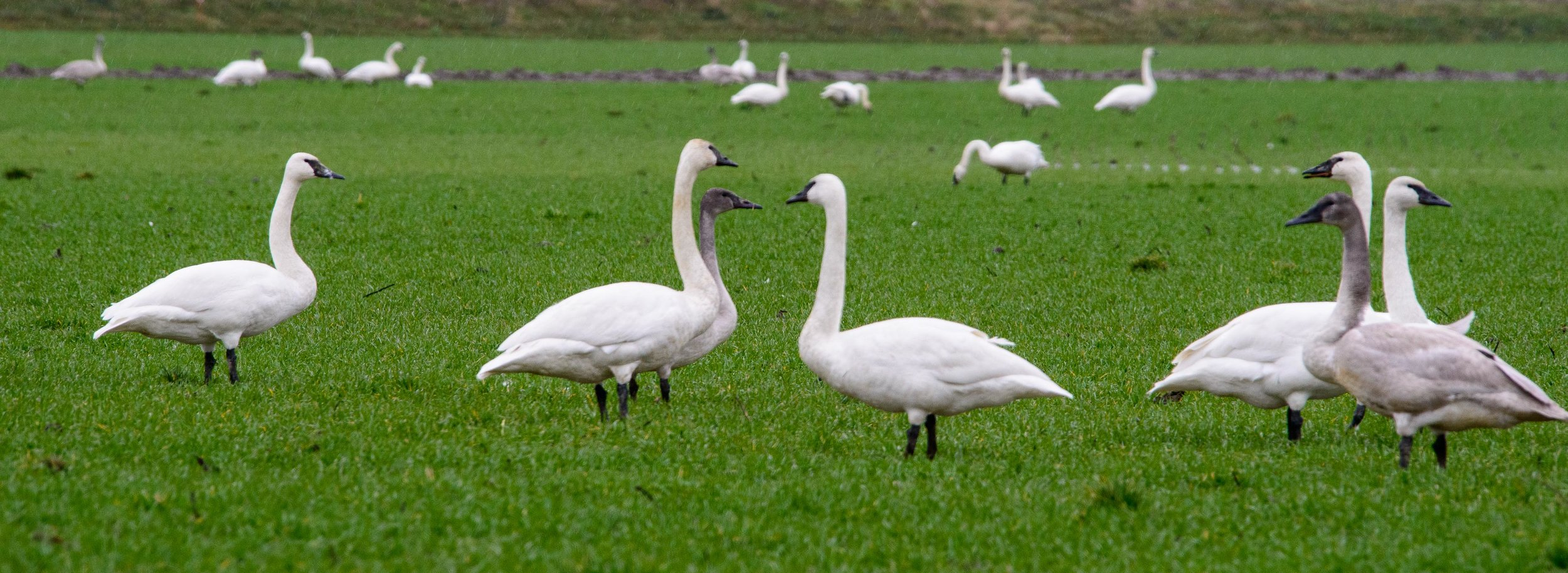 Trumpeter Swan families grazing, Skagit Flats, Mt. Vernon. PC: Thomas Bancroft