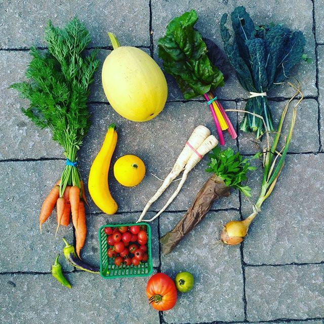 CSA week 14! Carrots, spaghetti squash, parsnip, kale, Swiss chard, parsley, chocolate mint, zucchini, onion, banana pepper, cherry tomato, heirloom tomato. #csa #eatlocal #permaculture #ptbocanada