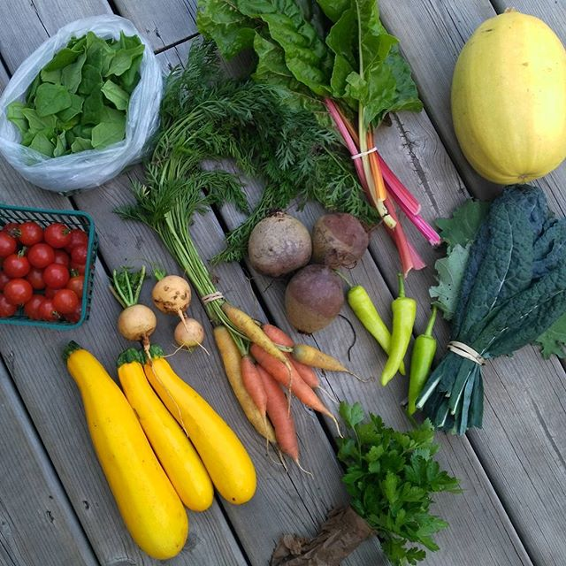 CSA week 11! Cherry tomatoes, spinach, carrots, kale, swiss chard, spaghetti squash, banana peppers, turnips, zucchini, parsley, beets. #csa #eatlocal #permaculture #ptbo