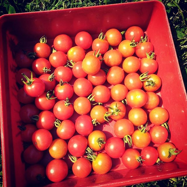 #todaysharvest #permaculture #cherrytomato
