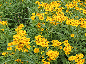 mexican_mint_marigold2.jpg