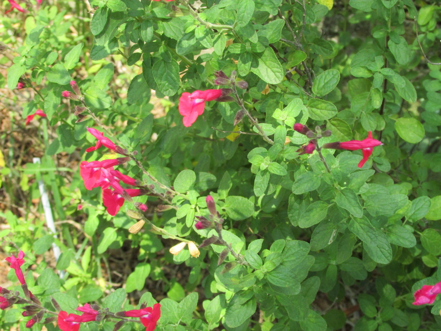 Plants Hill Country Texas Master Gardeners
