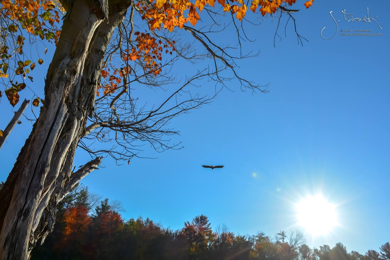 Eagle on Sacandaga Reservoir 6115
