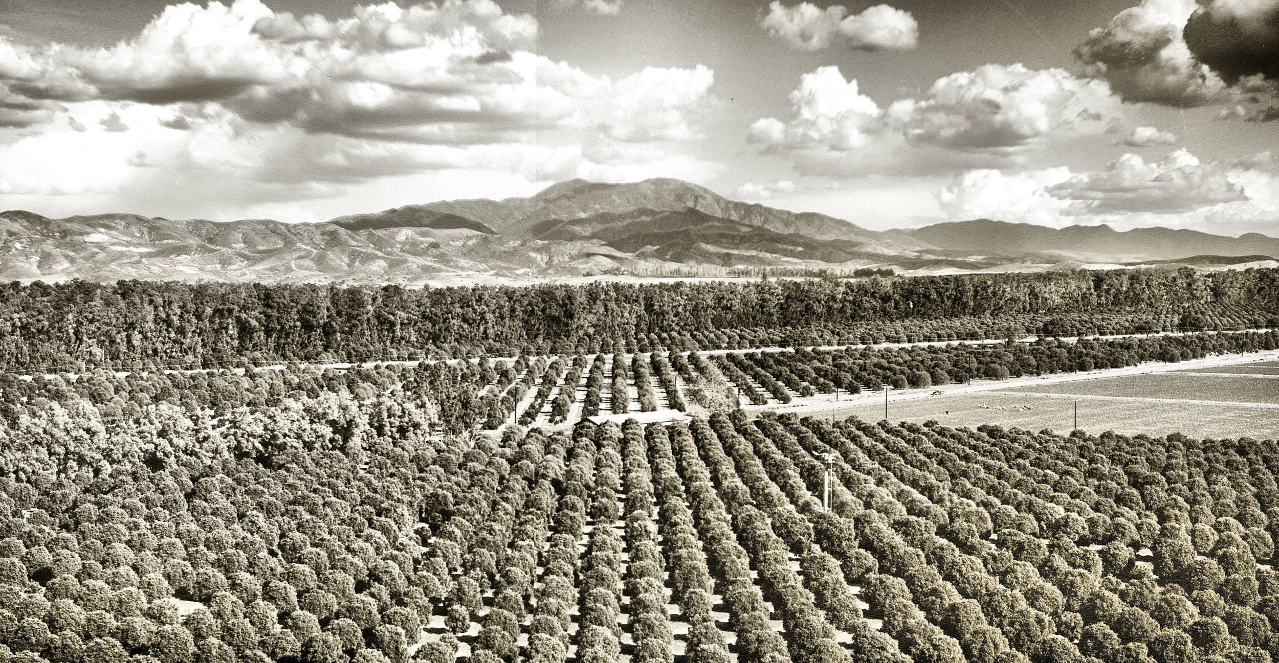 Looking across the orange groves of the Irvine Ranch towards Old Saddleback, circa 1956 (courtesy the Orange Public Library and History Center).