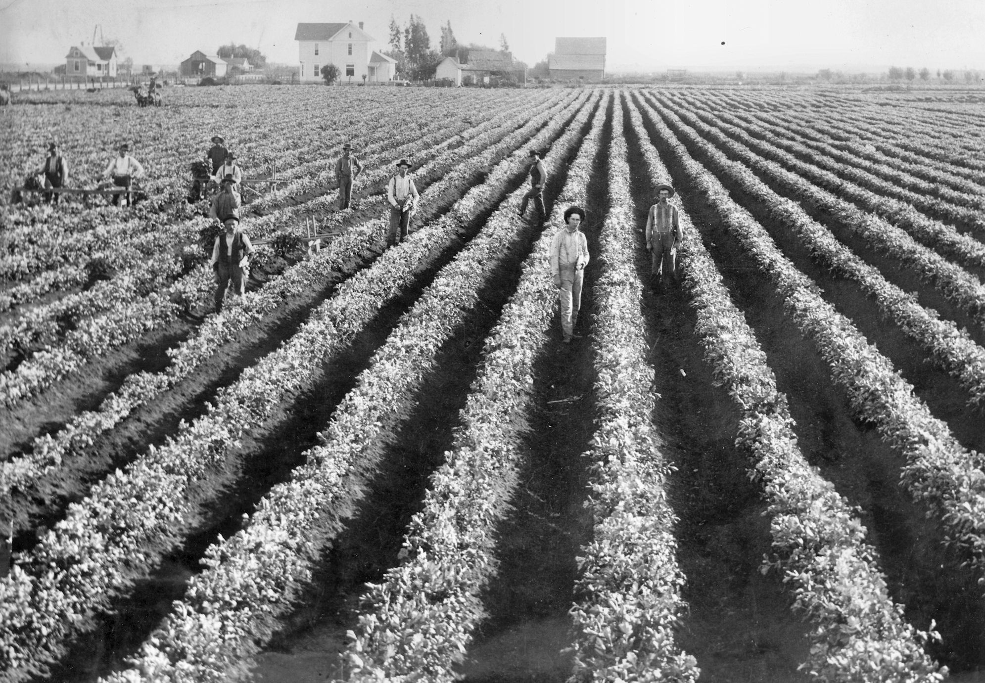 Celery fields near Westminster, ca 1900 (Courtesy the First American Corporation).