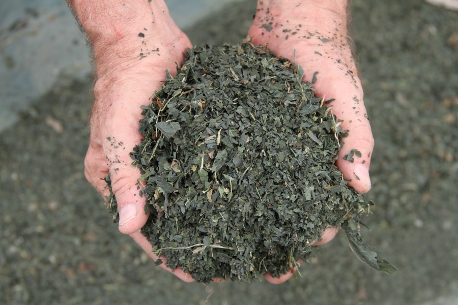 Roland Ricketts composting indigo.