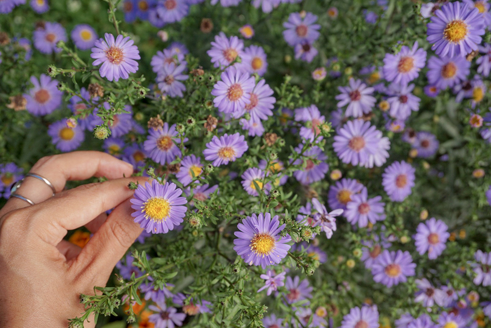 Purple daisies in Mount Dajti