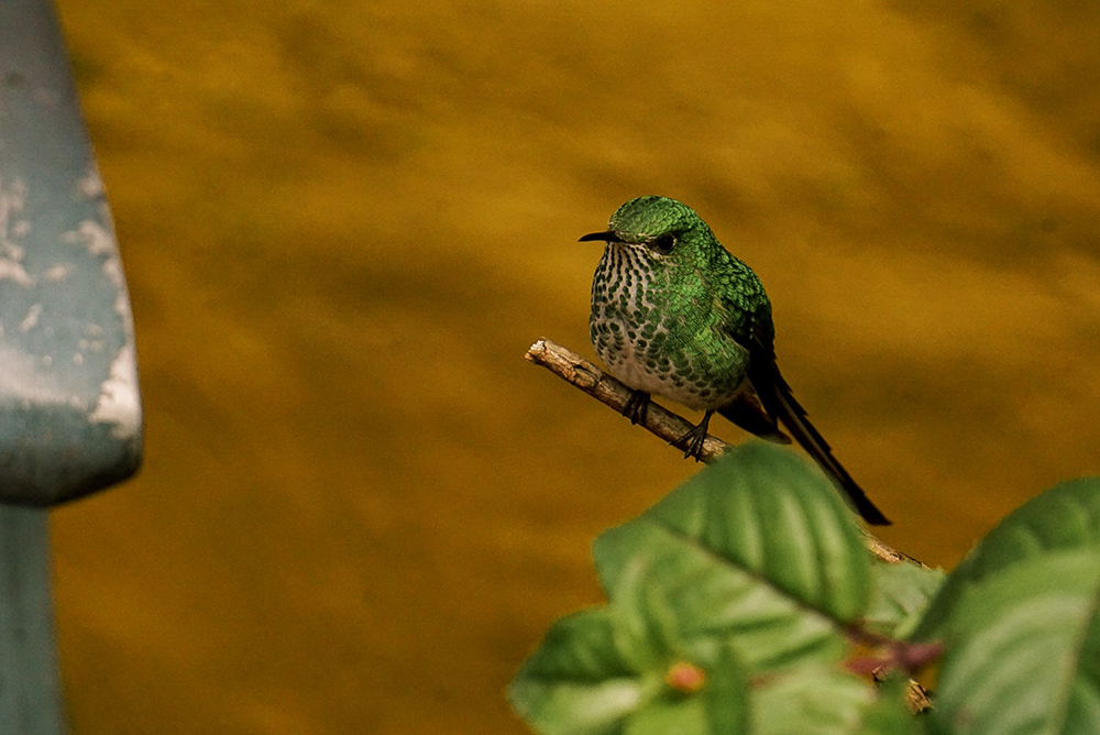 Green-tailed trainbearer (female)