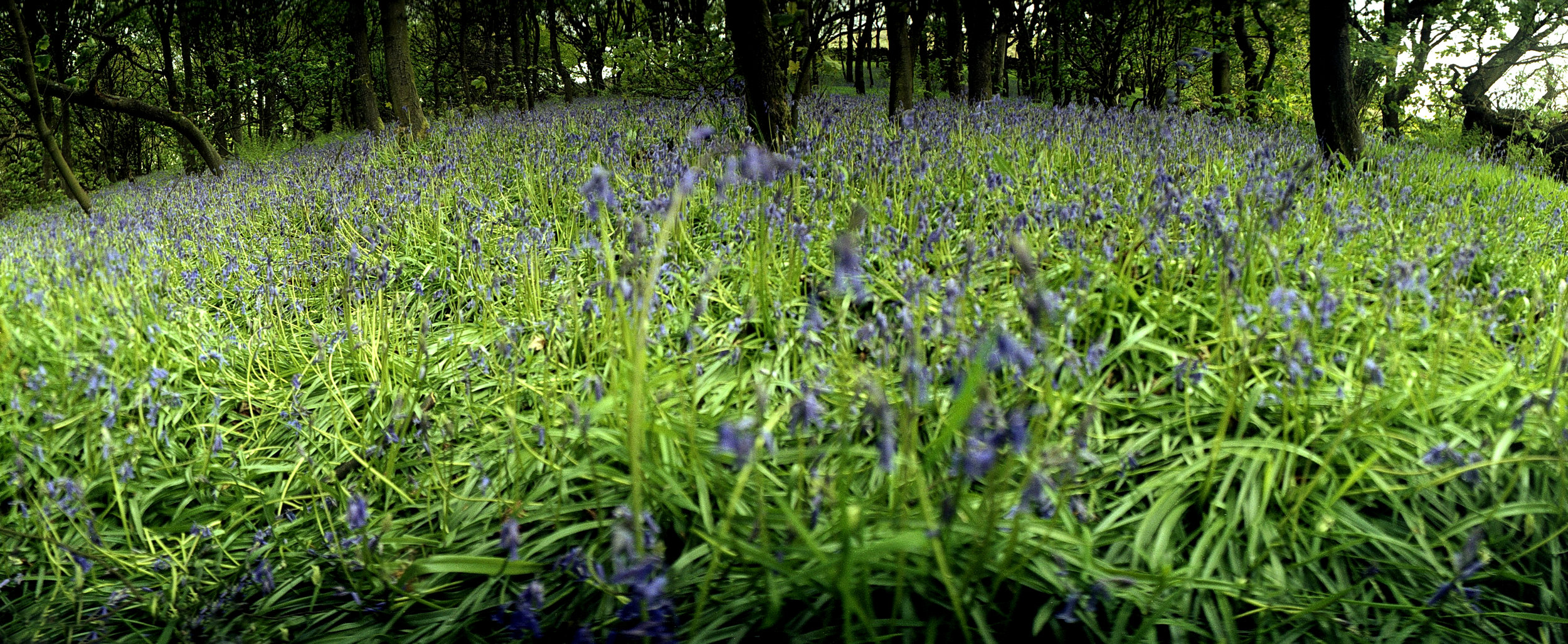 Blue Bell Woods Newhey