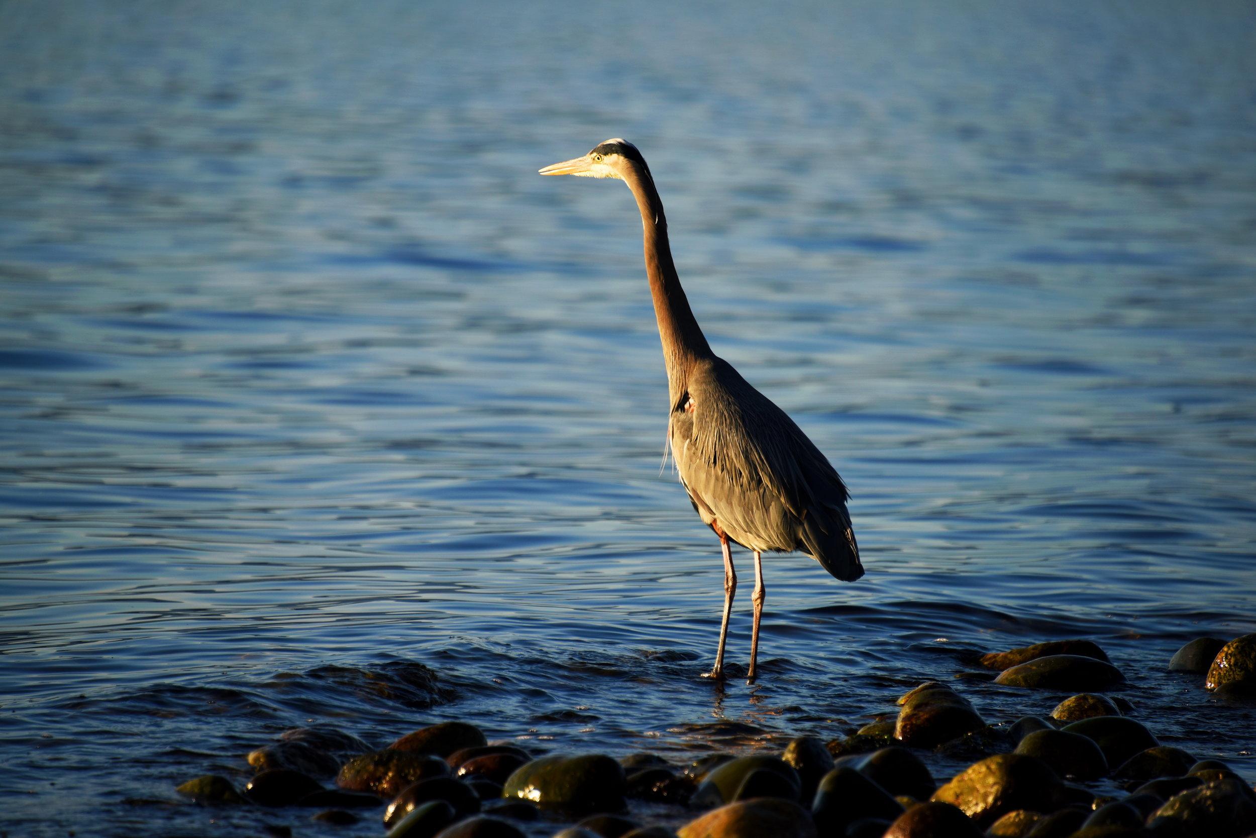 Great Blue Heron    24 x 36 Canvas 325.00 16 x 24 Canvas 225.00 16 x 24 Matte Aluminum 225.00