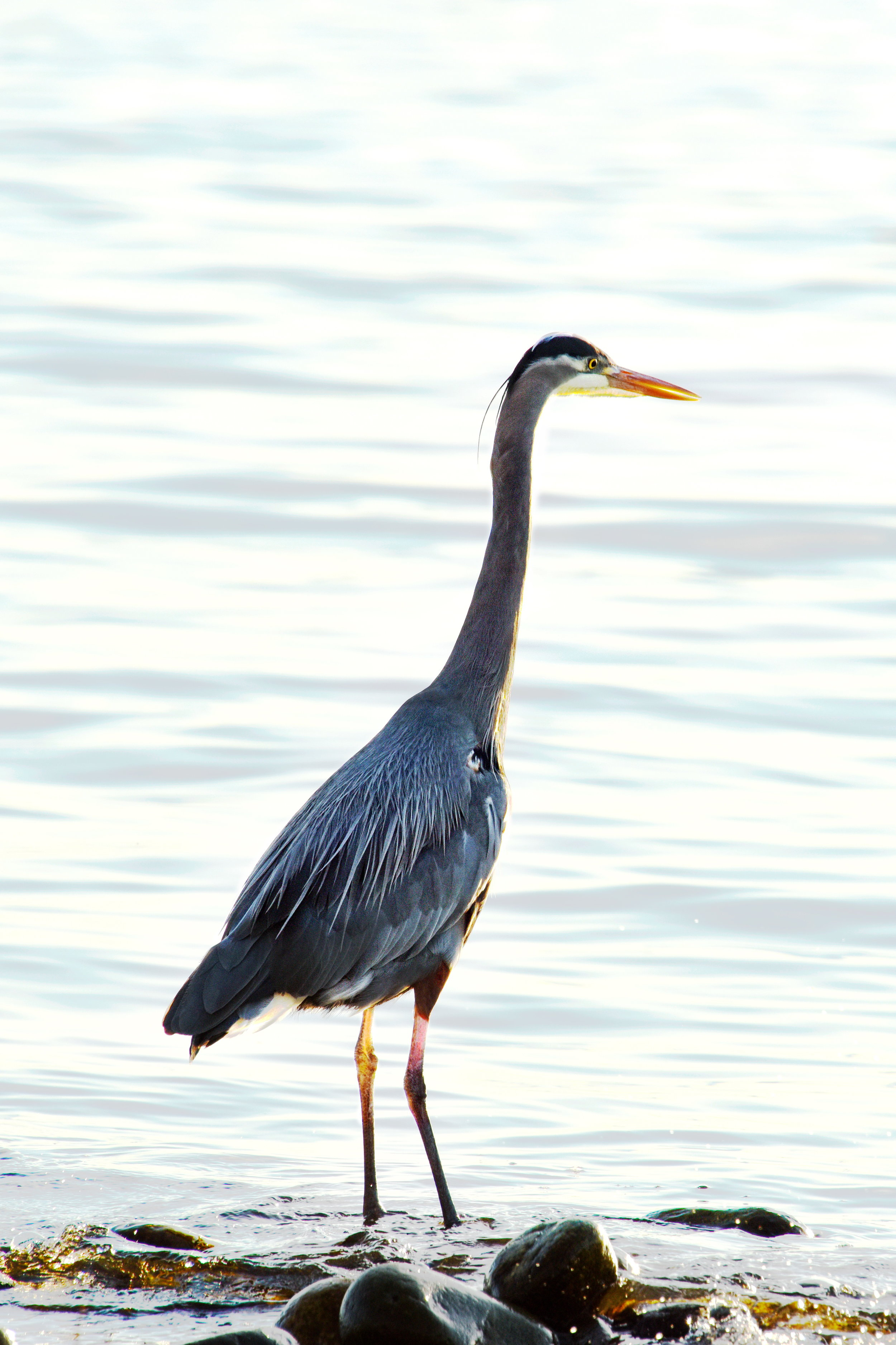 Great Blue Heron 2    16 x 24 Canvas 225.00