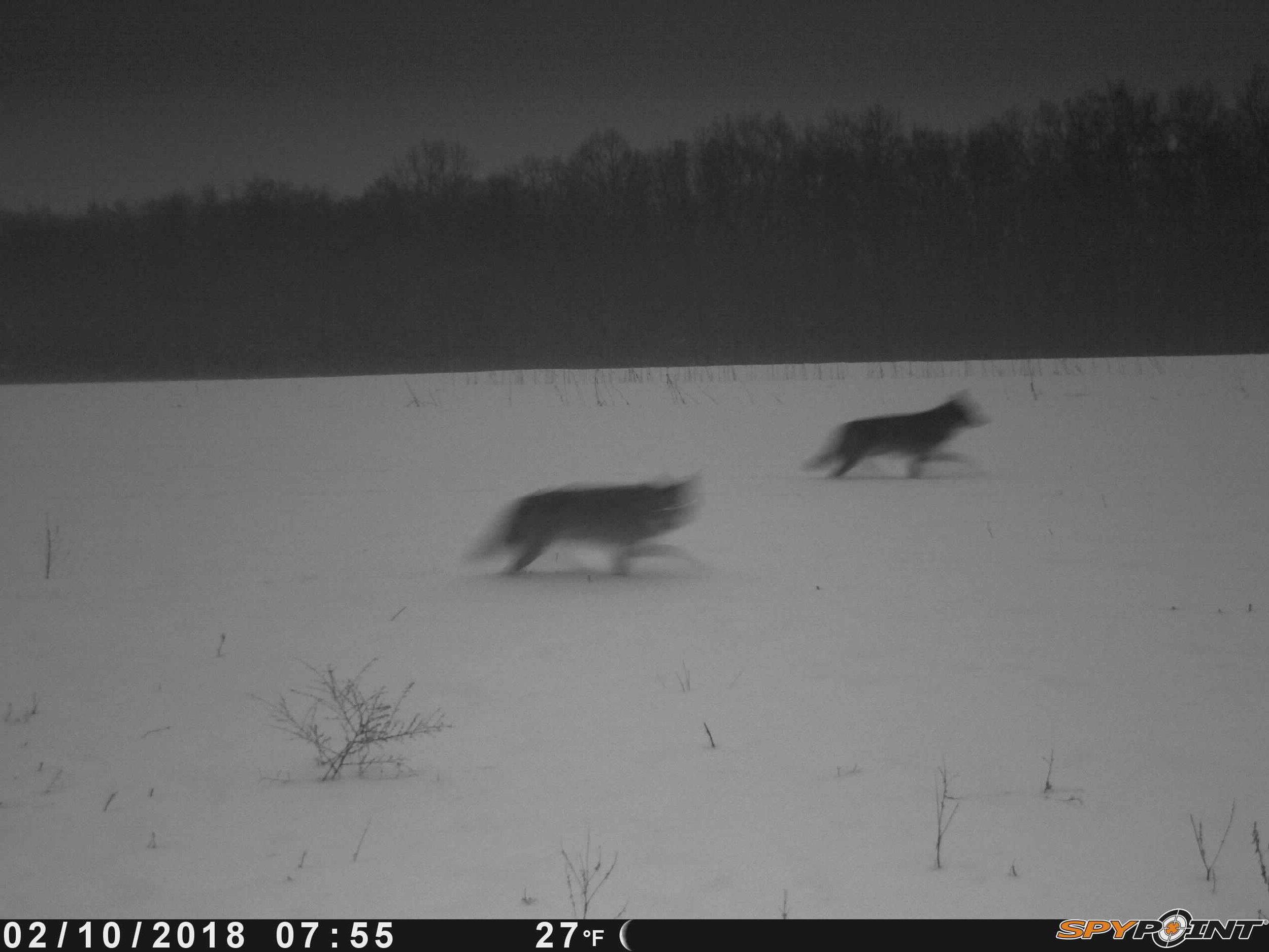 2 coyotes.JPG
