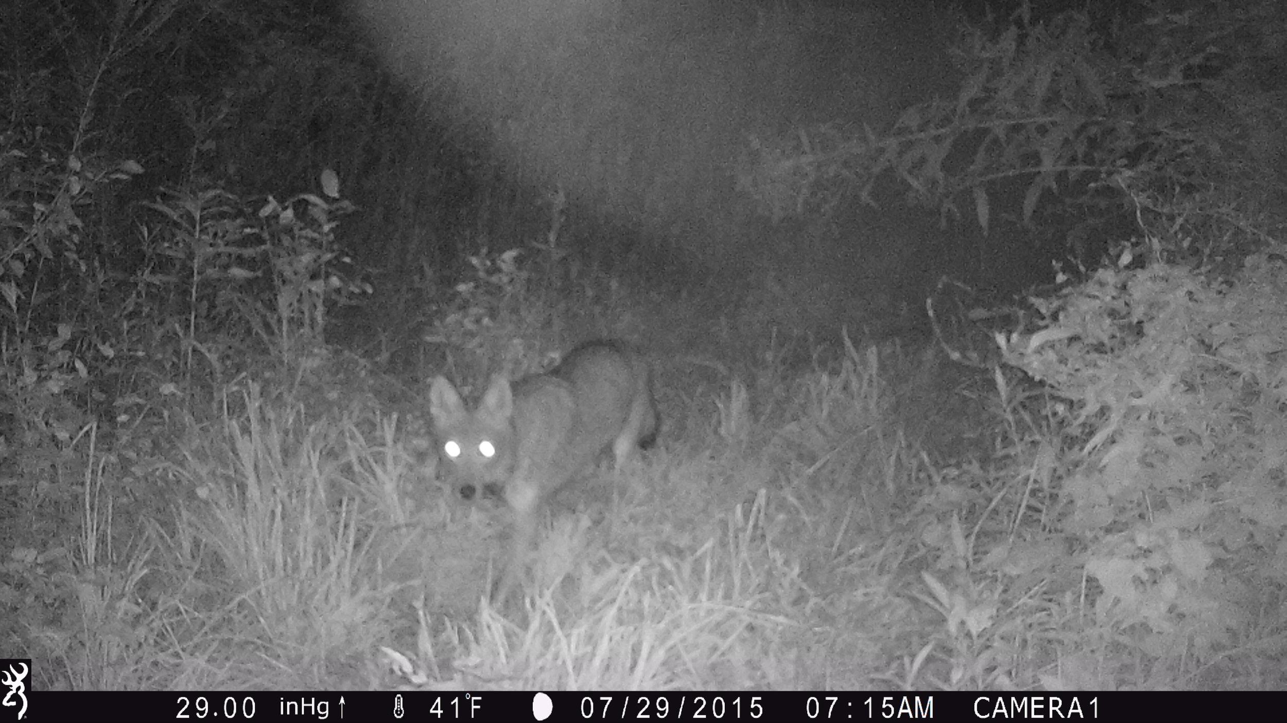 9.13.2018 Coyote.JPG
