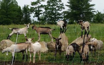 abraham goat farm