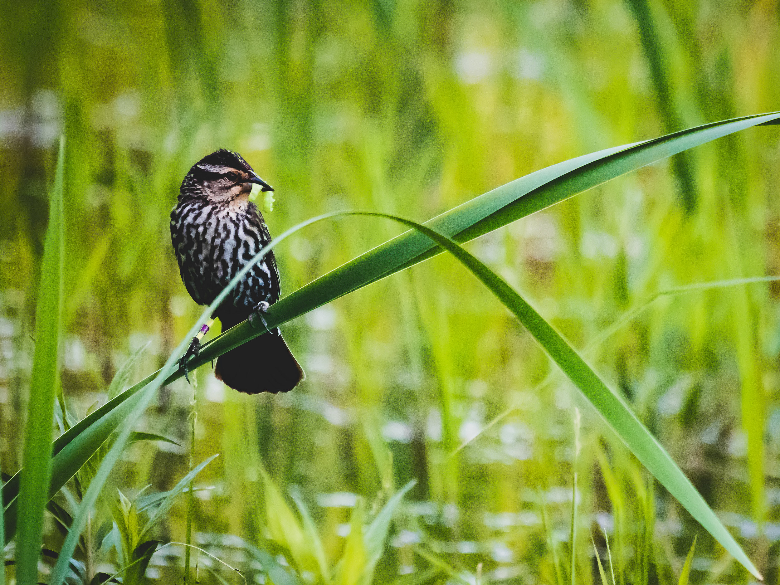 Red-winged blackbird female with worm-1.jpg