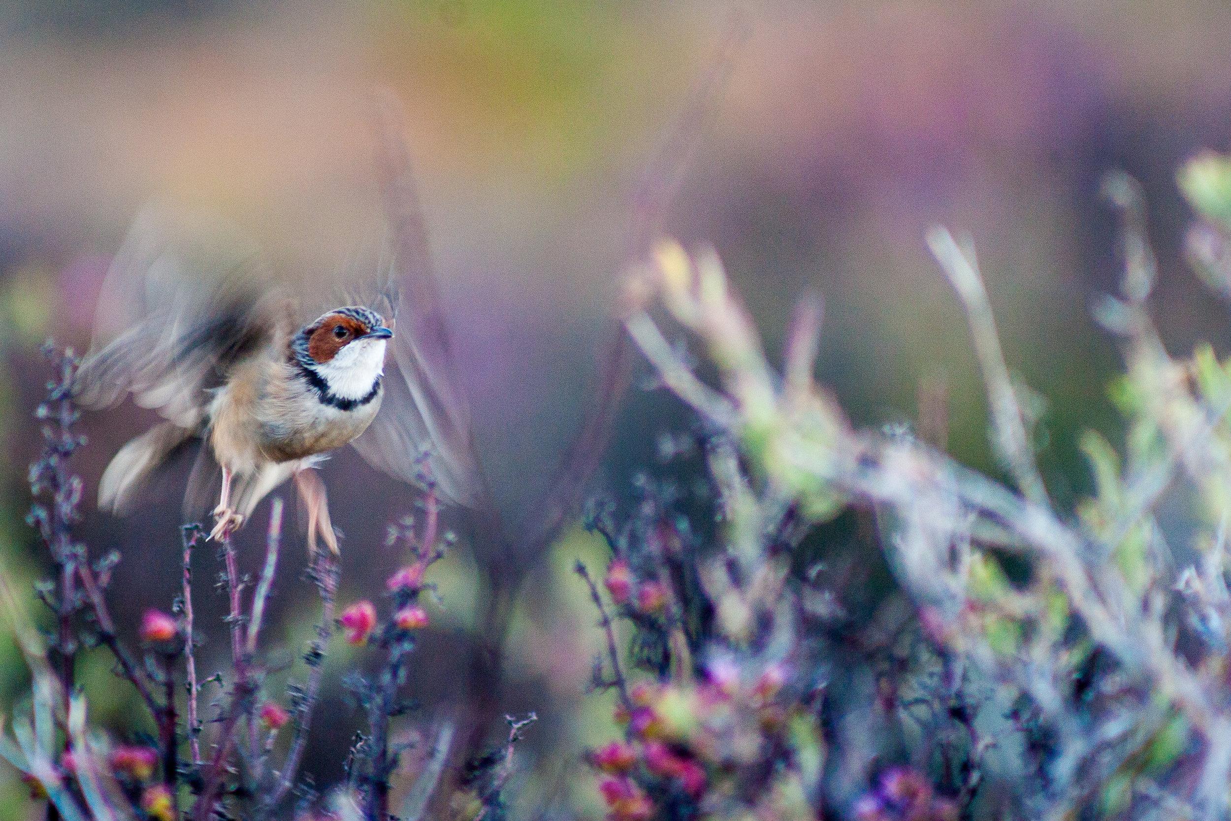 Rufous-Eared Warbler Nat Geo.jpg