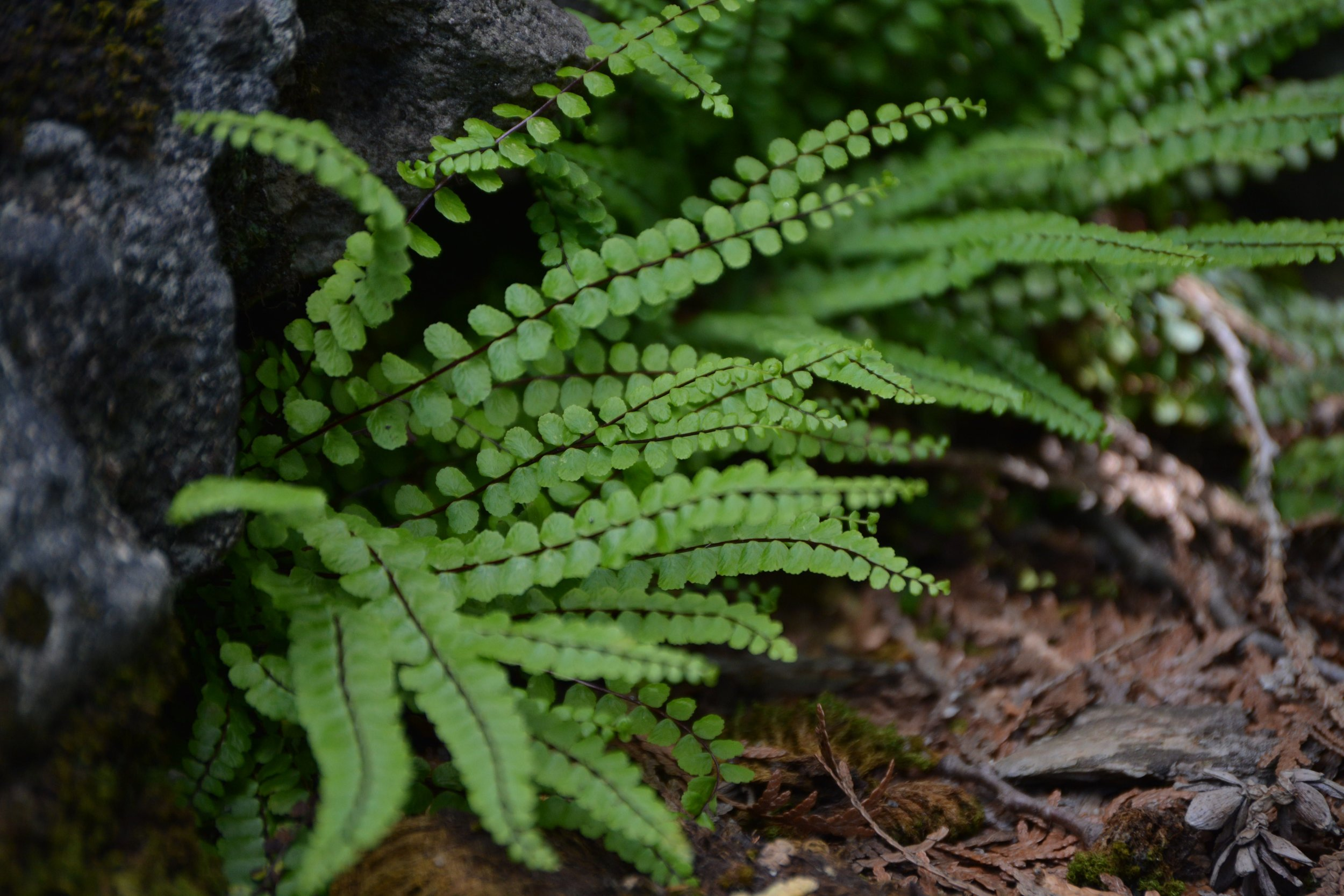 Field Trips - Maidenhair Spleenwort by John Anderson