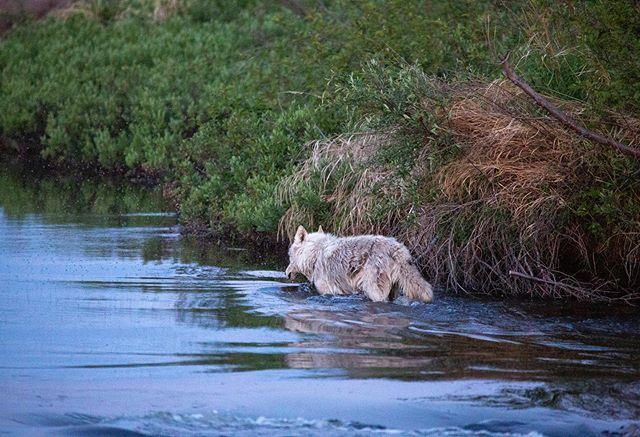 Lone wolf on our last night on the Clearwater River! Amazing what you see when you spend more time in nature.