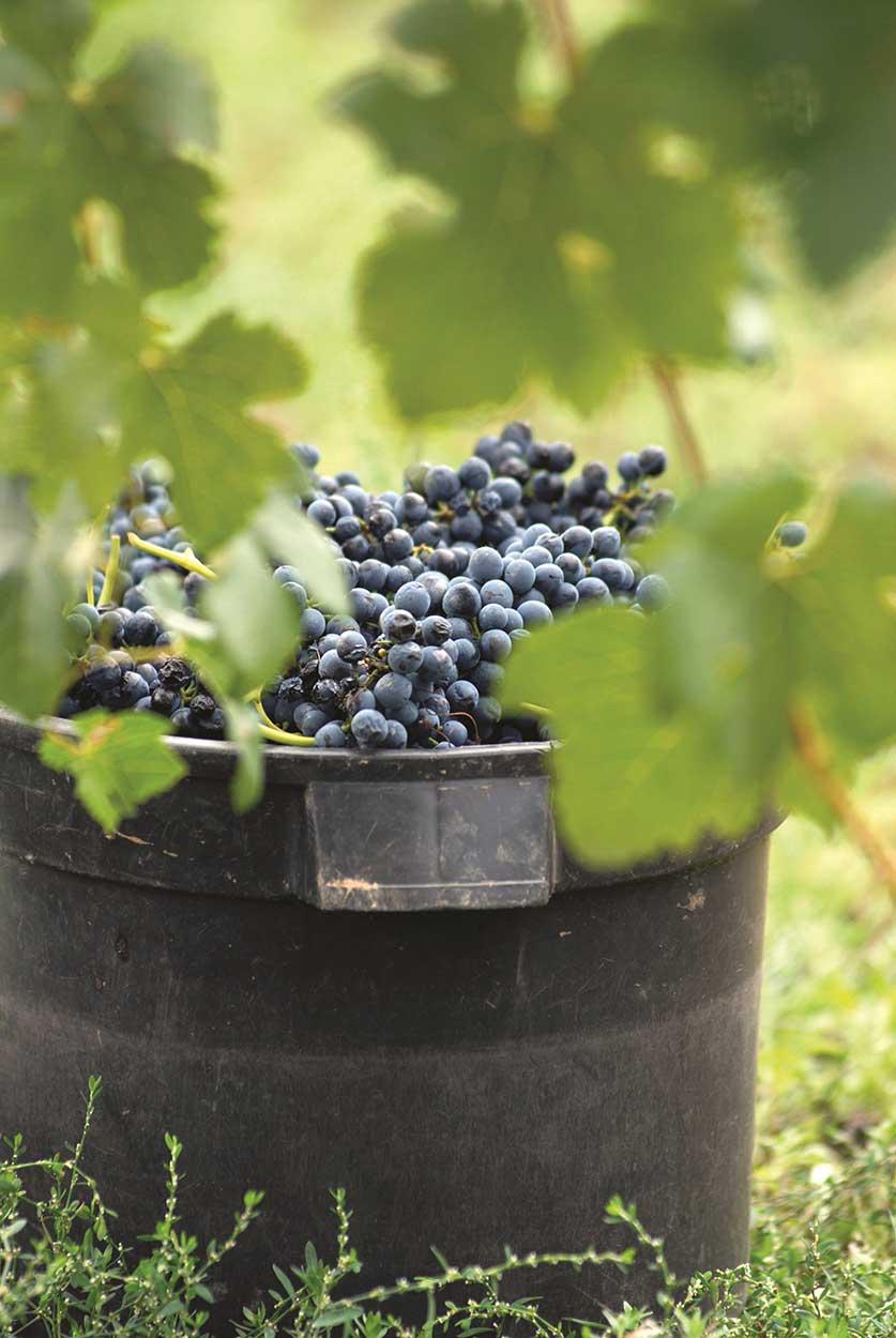 Bendigo-Winegrowers_Knots-Wines.jpg