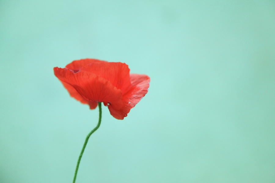 simple-red-poppy-on-turquoise-blue-poppy-thomas-hill.jpg
