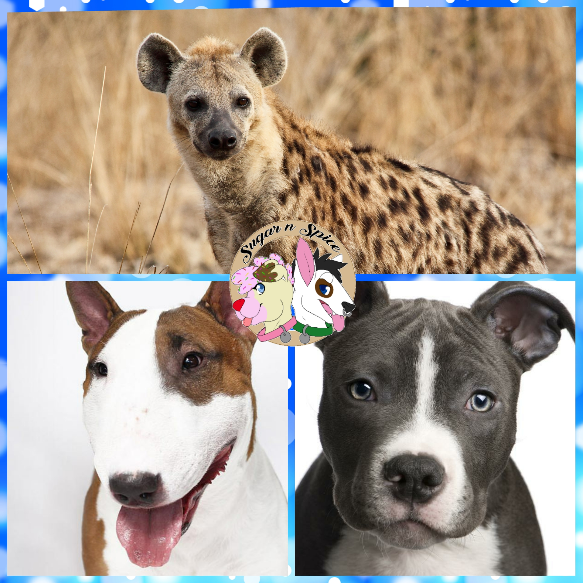 Discounted Species Commisions  - Hyenas,English Bull terriers ,Pit bulls These species are our favorites to make so you thecustomer benefit from our love of these breeds/species.