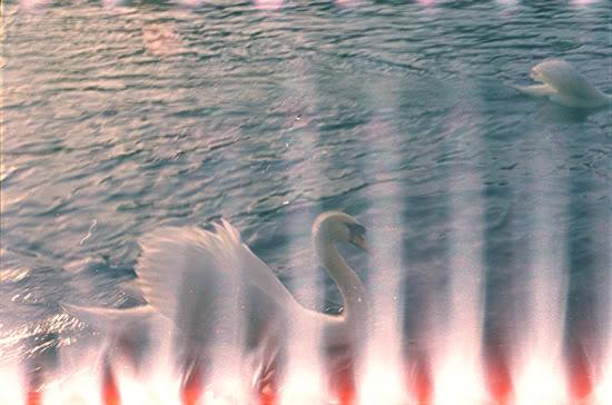 Swans, 2008
