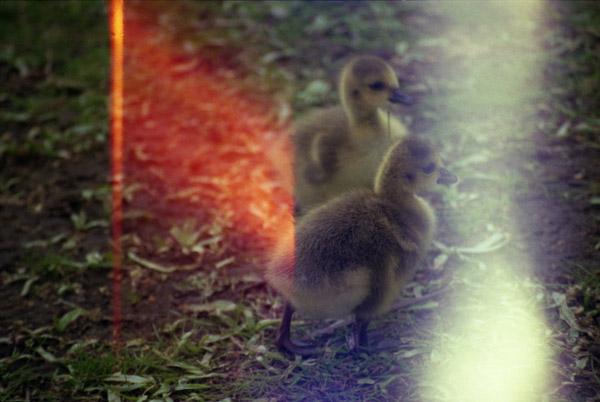 Ducks, 2012