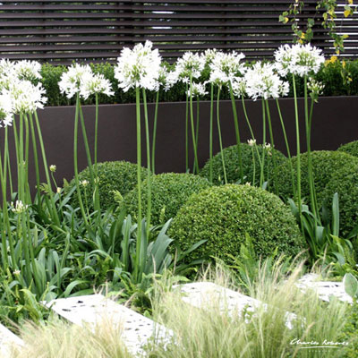 white-agapanthus-and-box.jpg