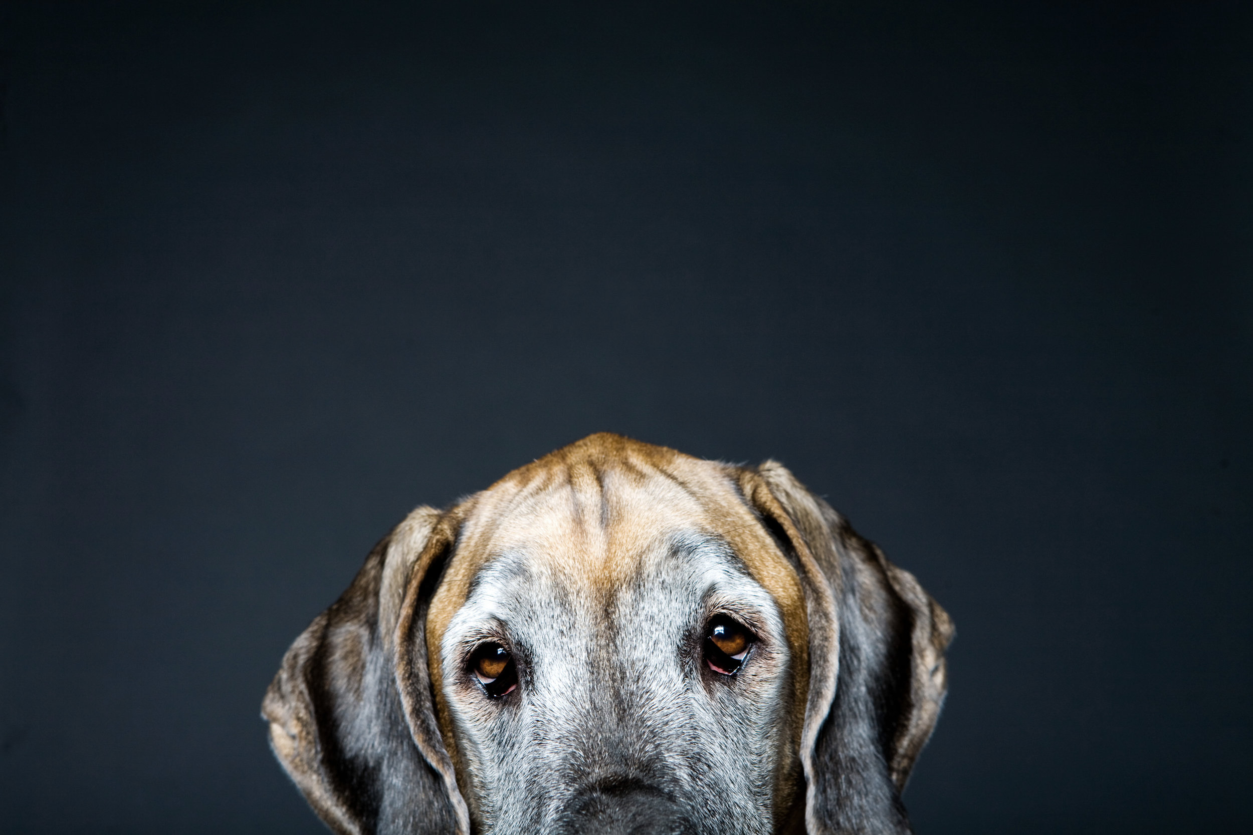 0004_GreatDane.jpg