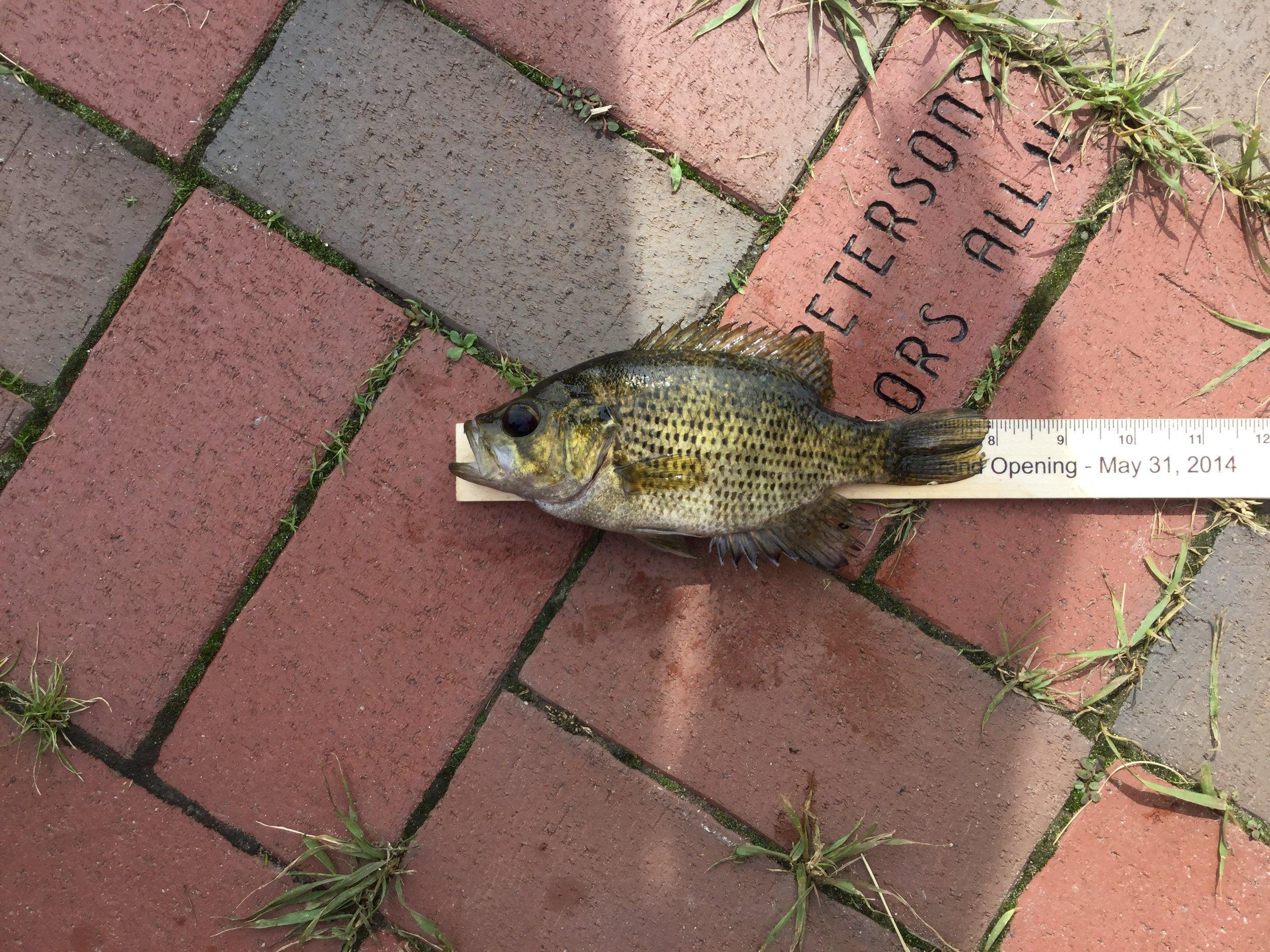 Uma 8 inch Rock Bass