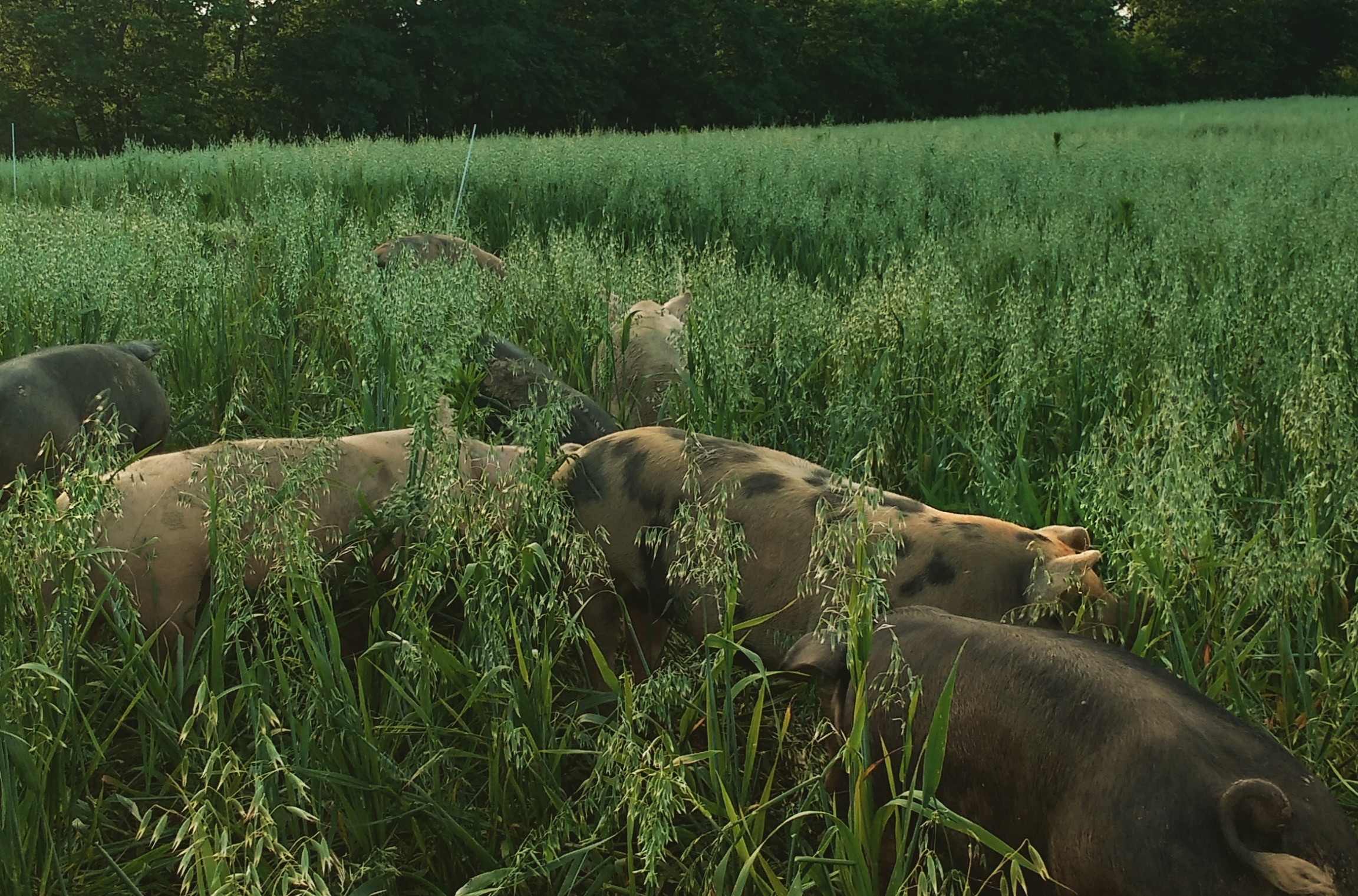 Because pigs root up their pasture in addition to grazing, we usually keep them on annual seeded grasses, rather than perennial pasture.